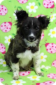 Papillon/Terrier (Unknown Type, Small) Mix Dog for adoption in Westminster, Colorado - Rafael