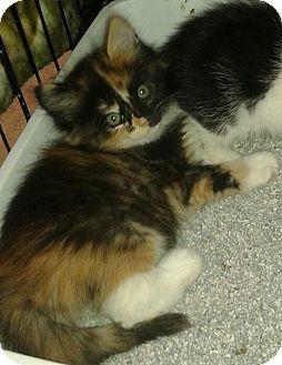 Calico Kitten for adoption in Whittier, California - Alexis