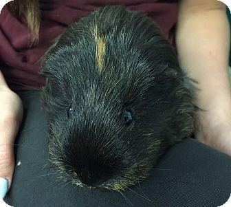 Guinea Pig for adoption in Medfield, Massachusetts - Brownie