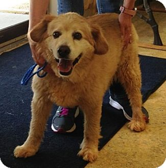 Golden Retriever Mix Dog for adoption in New Canaan, Connecticut - Boyd
