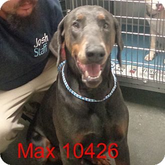 Doberman Pinscher Dog for adoption in Greencastle, North Carolina - Max
