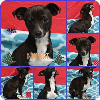 Chihuahua Mix Dog for adoption in Streetsboro, Ohio - Nugget
