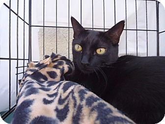 Domestic Shorthair Cat for adoption in Berkeley, California - Willie