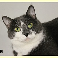 Domestic Shorthair Cat for adoption in New Richmond,, Wisconsin - Houston