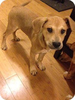 Catahoula Leopard Dog Mix Puppy for adoption in Monroe, North Carolina - Sadie