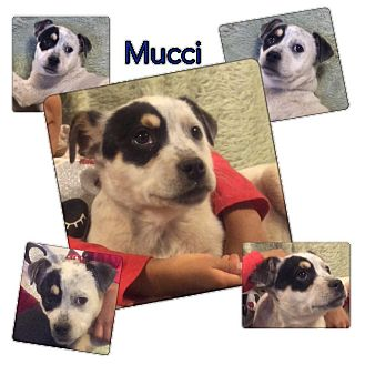 Boxer Mix Puppy for adoption in Ravenna, Texas - Mucci
