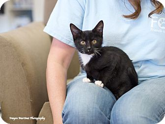 Domestic Shorthair Kitten for adoption in Marietta, Georgia - Bullwinkle