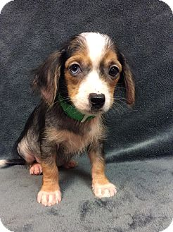 Dachshund/Chihuahua Mix Puppy for adoption in Moody, Alabama - Cobalt