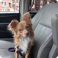 Adopt A Pet :: Falcon - Chicago, IL
