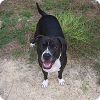 Adopt A Pet :: Dozer - Homosassa, FL