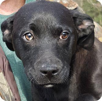 Labrador Retriever Mix Puppy for adoption in Colonial Heights, Virginia - Ebony