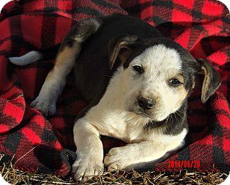 Australian Shepherd/Retriever (Unknown Type) Mix Puppy for adoption in West Sand Lake, New York - Lander (5 lb) Video!