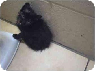 Domestic Shorthair Kitten for adoption in Saanichton, British Columbia - Mirage