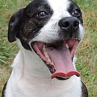 Boston Terrier Mix Dog for adoption in Joplin, Missouri - PATRIOT