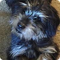 Dachshund/Schnauzer (Standard) Mix Dog for adoption in Nixa, Missouri - Jack #849