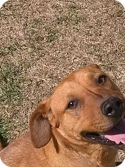 Labrador Retriever Mix Dog for adoption in Sand Springs, Oklahoma - Sissy