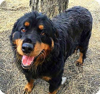 Rottweiler Mix Dog for adoption in Libby, Montana - Peaches