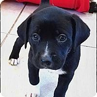 Adopt A Pet :: GiGi Puppies - Austin, TX