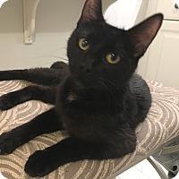 Adopt A Pet :: Nibbles - Fairfax, VA