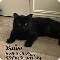 Adopt A Pet :: A Fun Duo: BALOO - Monrovia, CA