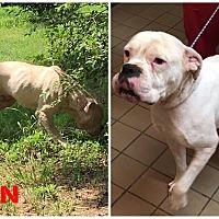 Adopt A Pet :: Cain - Hartwell, GA
