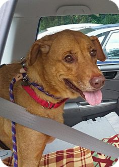 Labrador Retriever Mix Dog for adoption in East Freetown, Massachusetts - Lorna Diamond - MA