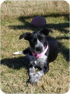 Schnauzer (Standard)/Terrier (Unknown Type, Small) Mix Dog for adoption in Portsmouth, Rhode Island - Oreo