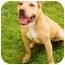 Photo 2 - American Staffordshire Terrier/Labrador Retriever Mix Dog for adoption in Marina del Rey, California - Butterscotch