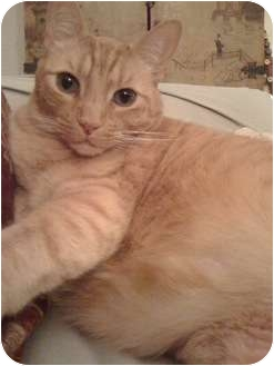 Domestic Shorthair Cat for adoption in Los Angeles, California - Dickens