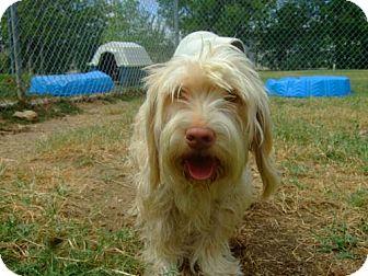 Havanese Mix Dog for adoption in Watauga, Texas - Sandy