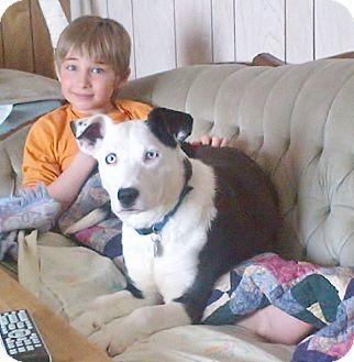 Border Collie/American Staffordshire Terrier Mix Dog for adoption in Saskatoon, Saskatchewan - Kenzie