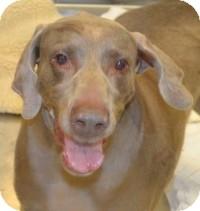 Weimaraner Mix Dog for adoption in Scottsdale, Arizona - Gypsy