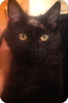 Domestic Mediumhair Kitten for adoption in Pincher Creek, Alberta - Huey