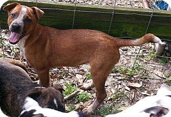 Australian Cattle Dog/Cattle Dog Mix Puppy for adoption in Ocala, Florida - Hattie