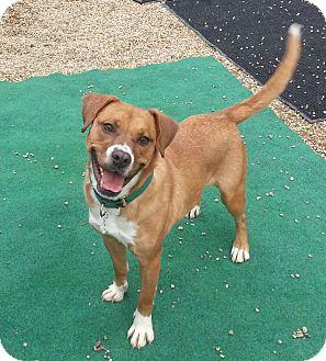 Boxer/Pug Mix Dog for adoption in Medfield, Massachusetts - Rosie