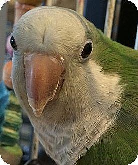 Parakeet - Quaker for adoption in Punta Gorda, Florida - Cujo