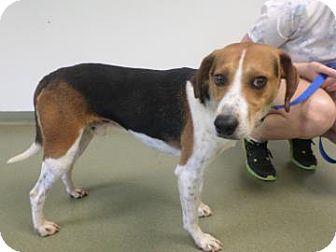 Foxhound Mix Dog for adoption in Harrisonburg, Virginia - Toby