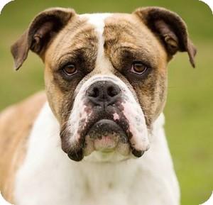 English Bulldog Dog for adoption in Huntley, Illinois - Rhonda