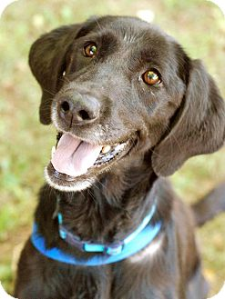Labrador Retriever/Flat-Coated Retriever Mix Dog for adoption in Knoxville, Tennessee - Annie