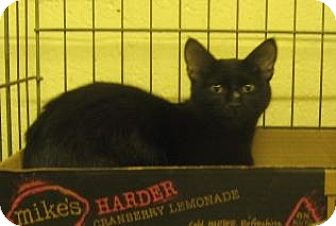 Domestic Shorthair Cat for adoption in Stillwater, Oklahoma - Cicero