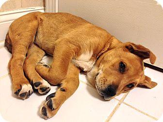 Labrador Retriever/Shepherd (Unknown Type) Mix Puppy for adoption in Homewood, Alabama - Layla
