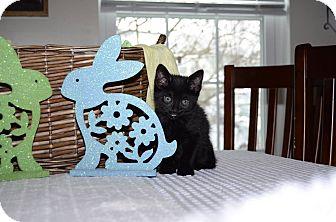 Domestic Shorthair Kitten for adoption in Middletown, Ohio - Zeus