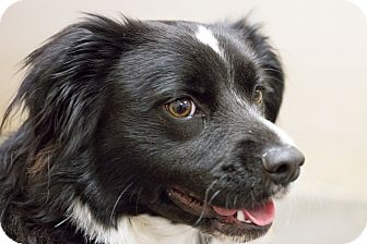 Spaniel (Unknown Type) Mix Dog for adoption in Greensburg, Pennsylvania - Tipper