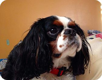 Cavalier King Charles Spaniel Dog for adoption in Arcadia, California - Charlie