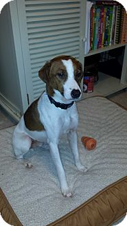 Jack Russell Terrier/Hound (Unknown Type) Mix Dog for adoption in Blue Bell, Pennsylvania - Eddie
