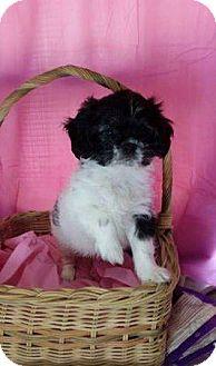 Shih Tzu Puppy for adoption in Chester, Illinois - Faith