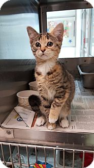 Domestic Shorthair Kitten for adoption in Prince George, Virginia - Allie