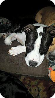 Pit Bull Terrier Mix Dog for adoption in Cincinnati, Ohio - Titan: Fairfax
