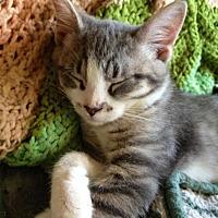 Ocicat Cat for adoption in Brunswick, Ohio - Pete