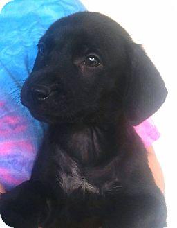 Labrador Retriever Mix Puppy for adoption in Hammonton, New Jersey - spyro